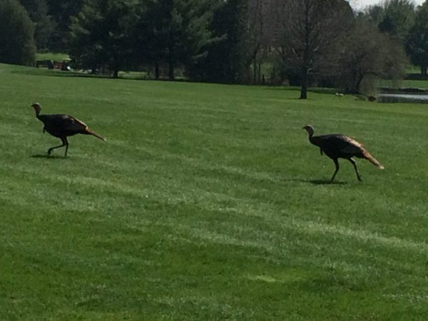 Turkeys across Odana Hills